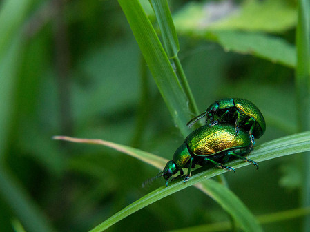 Leaf beetles (Chrysolina herbacea) in southern Italy.