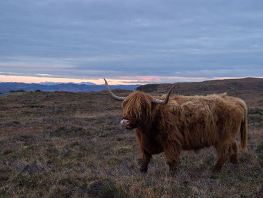 Highland cows are Scottish cattle breed I was lucky enough to photograph during a trip to the Isle of Skye. Their distinguishing characteristics are the long horns and the long, wavy, wooly coat that make them suited to the cold and windy conditions of the Highlands.