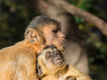 These two capuchin monkeys are brothers and spend most of their time playing, eating and resting together. For the younger one, staying close to his older brother is important for learning food strategies, the rules of the group and how to survive in the semi-arid forests of northeastern Brazil.