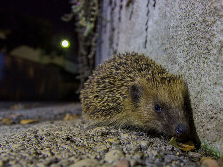 Hedgehog found on my driveway. Anzio, Italy.