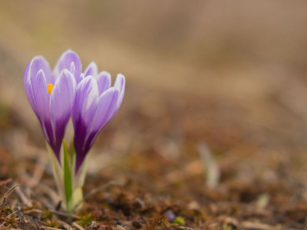 Crocus cf. albiflorus, flowerings in Valsavarenche, Gran Paradiso National Park.
