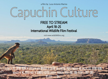 Watch Capuchin Culture at the digital edition of the International Wildlife Film Festival!
