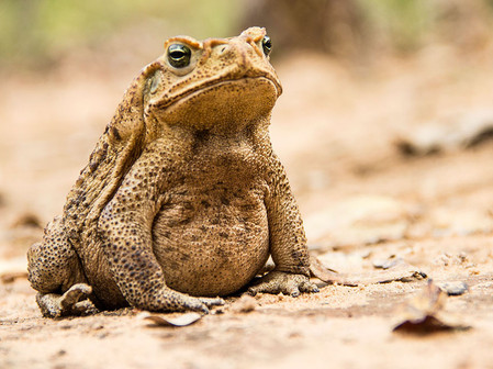 Cururu toad (Rhinella sp.) in the brazilian Caatinga.