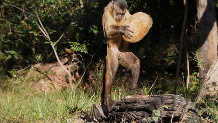Capuchin Culture Nut-cracking web.jpg