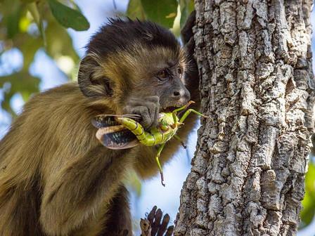 A young capuchin monkey preys a big grasshopper.