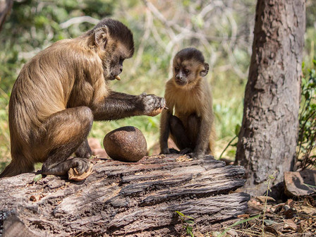 An adult bearded capuchin monkey has cracked a palm nut using a stone hammer on a log anvil and is removing and eating pieces of the kernel. A young monkey that cannot crack a nut itself watches closely. This behaviour is important for learning about foods, places where they can be obtained, and also about actions used to obtain them. Among social animals, much learning takes place in a social context.