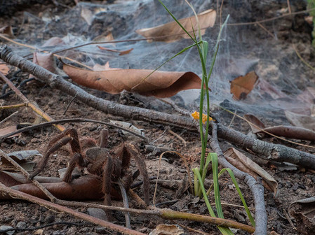 Predators of the forest. Tarantula (Theraphosidae).