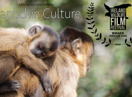 Capuchin Culture wins Audience Choice Popular Vote at the Ireland Wildlife Film Festival