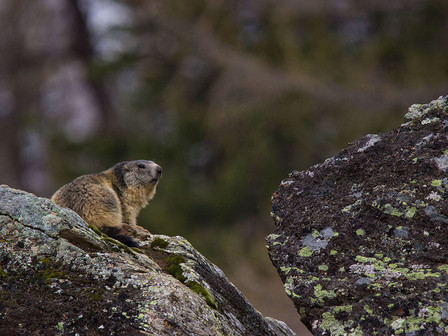 A marmot (Marmota marmota) scans the area from the top of a rock in Valsavarenche, Gran Paradiso National Park.