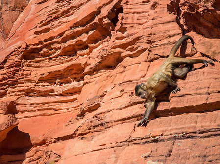 Capuchins are at ease when they climb up the high cliffs finding food and shelter.