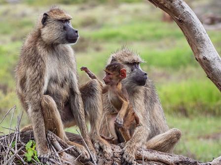 Yellow baboon (Papio cynocephalus) in the Amboseli National Park.