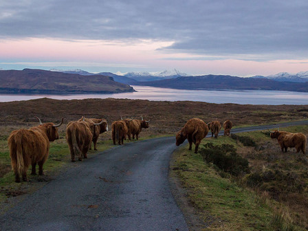 A fold of highland cows on the Isle of Skye.