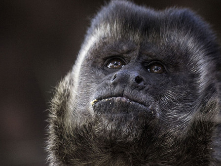 The alpha male of the group of monkeys.