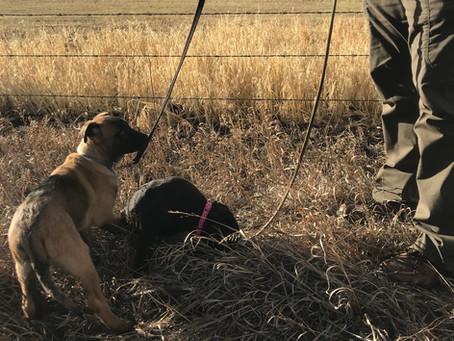 Miller Ranch K9 Pups