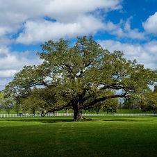 southern-live-oak-600x600.jpg