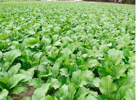 Carolina Broadleaf Mustard Greens.jpg