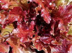 Red Salad Bowl Lettuce.jpg