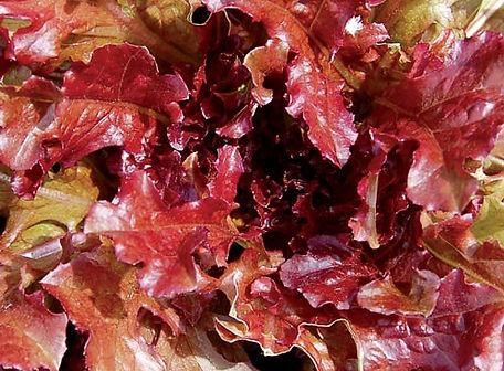 Red Salad Bowl Lettuce.jpg