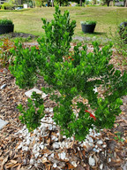 Dwarf Salt Bush, March 20, 2020.jpg