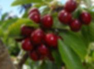 Lapins_Cherry_Tree_.jpg