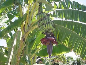 Banana Tree.png