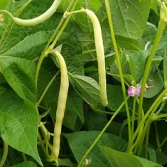 Cherokee Wax (seed packets)
