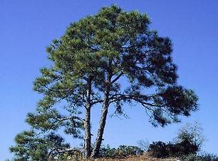 Slash Pine.jpg