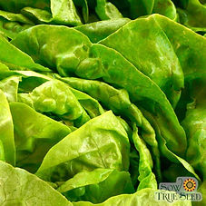 Buttercrunch Lettuce.jpg