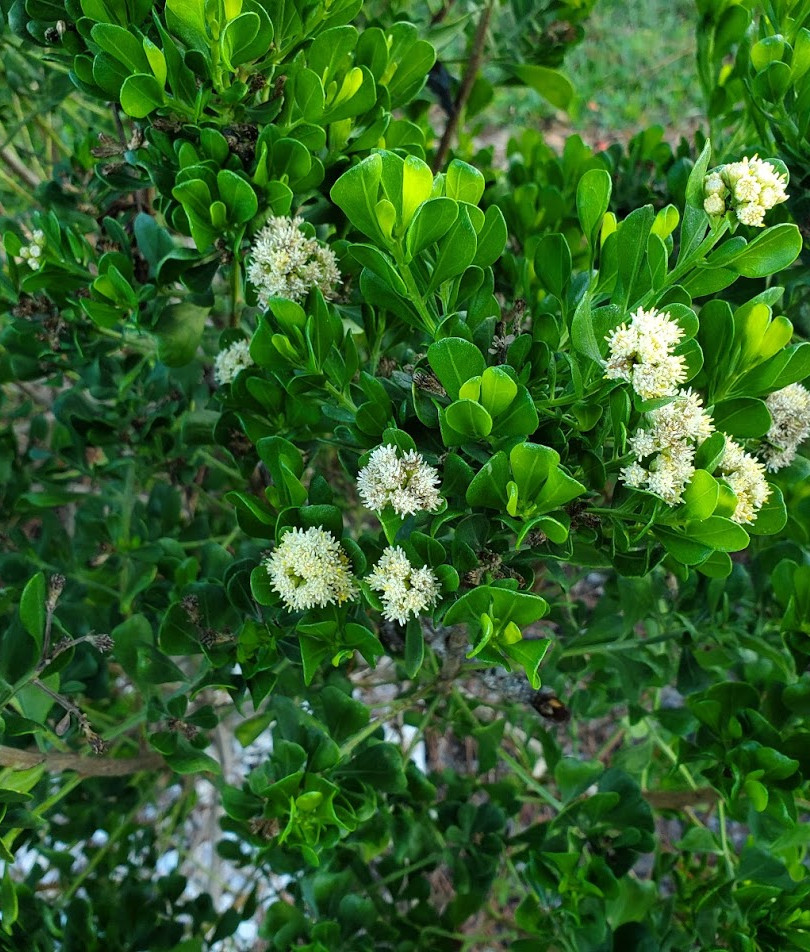 Blooms on Dwarf Saltbush, October 25, 20