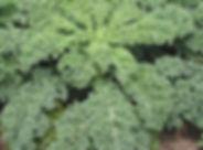 Image - Dwarf Blue Curled Scotch kale.jp