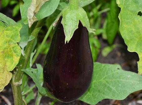 florida-high-bush-eggplant.jpg