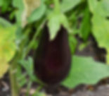 florida-high-bush-eggplant.jpg