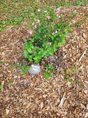 Tropical Sage, March 20, 2020.jpg