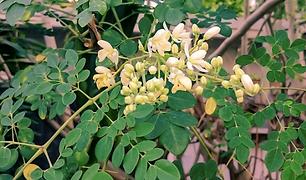Moringa Tree.png