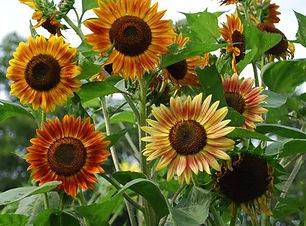 Evening sun sunflower.jpg