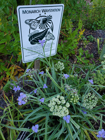 Spotted Water Hemlock and Spiderwort