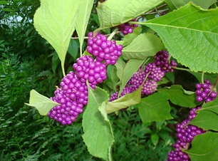 American Beautyberry.png