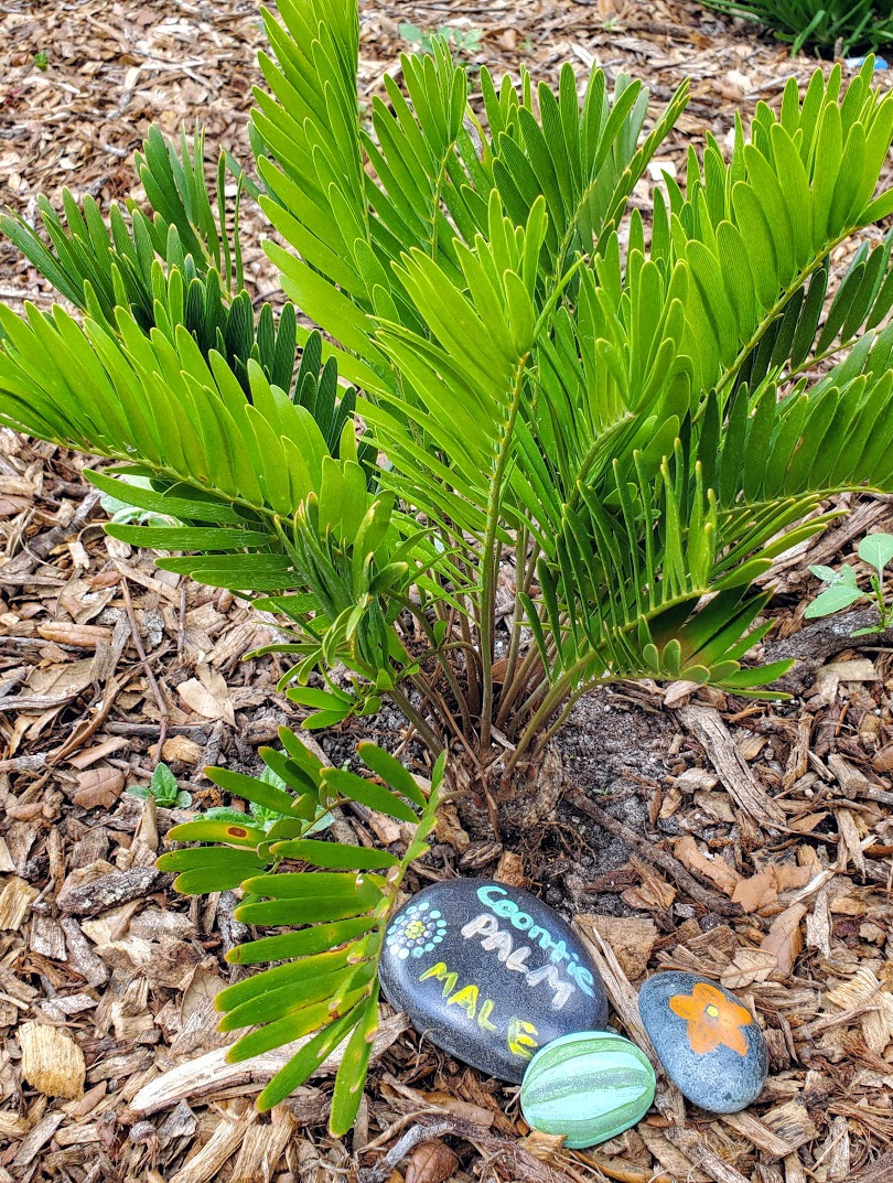 Coontie Palm - Male, March 20, 2020.jpg