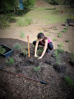 Lauren transplanting Tropical Sage