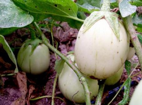Applegreen Eggplant.png
