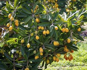 Loquat tree.png
