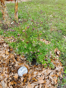 Scrub Blueberry plant2, March 20, 2020.j