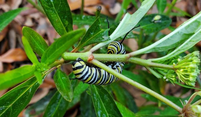 crawling on milkweed.jpg