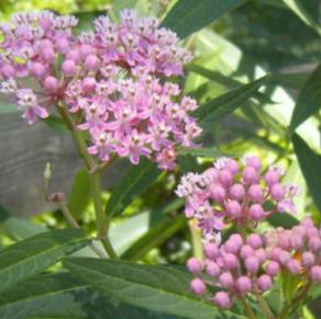 Swamp Milkweed, Pink