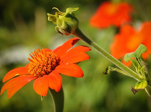 Red Torch Mexican Sunflower.png