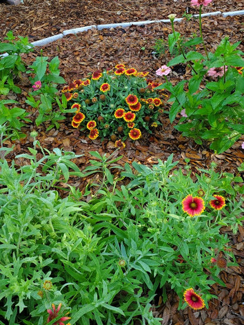 Blanket Flower, Zinnia, Firebush on Apri