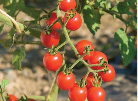 Jasper Tomato.jpg