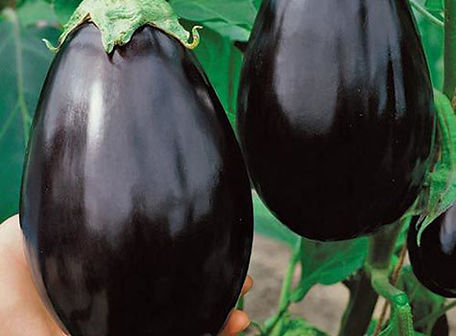 Image Black Beauty eggplant.jpg