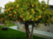 Lemon Tree.png