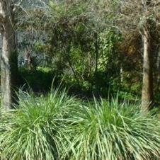 Fakahatchee Grass